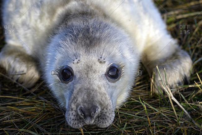 Grey seal, Halichoerus grypus, Portrait, Young animal, lying on meadow