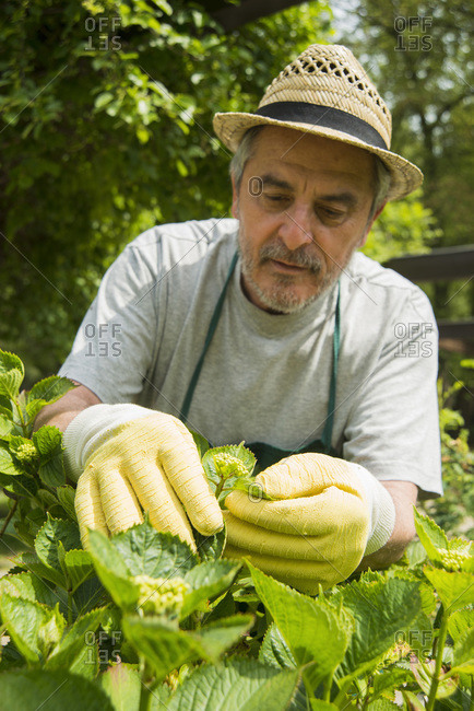 Close up of a senior gardener pruning