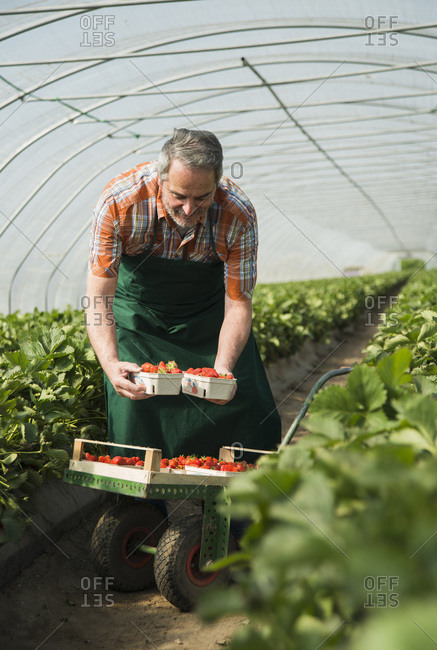 Senior farmer filling boxed of strawberries in greenhouse