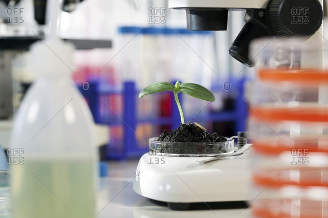 Seedling in a laboratory - Offset