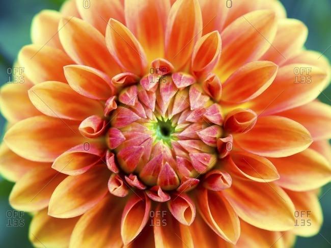 Aster flower, close up - Offset