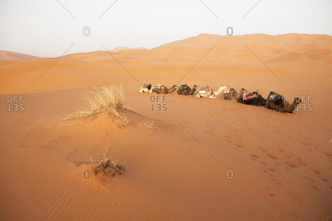 A train of camels sits among sand dunes