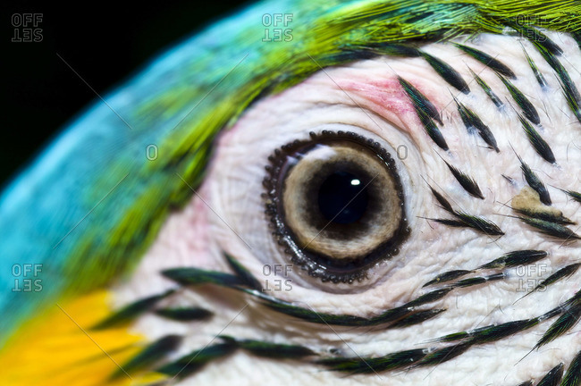 The iridescent turquoise crest and striped cheek feathers beneath the eye of a Blue-and-Yellow Macaw
