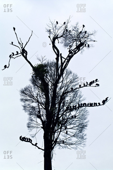 A silhouette of a committee of Black Vultures roosting in a dead tropical rainforest tree after logging cleared the area
