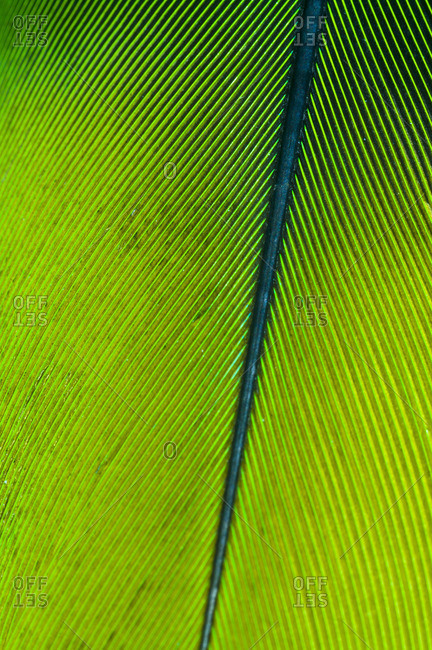 The perfect linear feather vane of a Mealy Amazon Parrot attached to the quill at the rachis