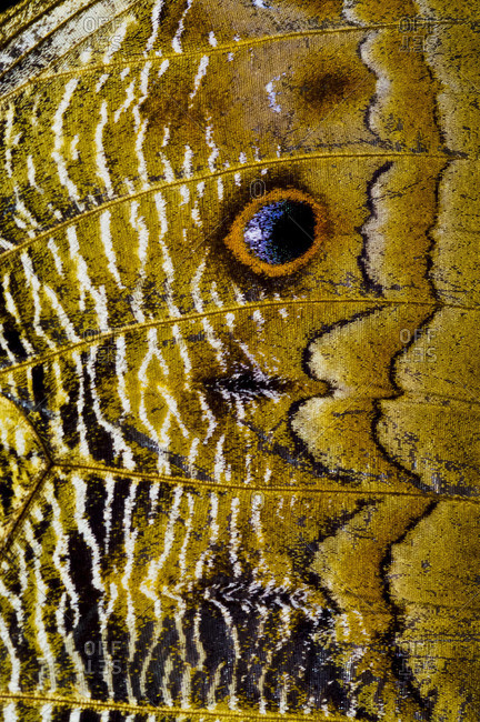 The wing markings of an Owl Butterfly look like giant eyes to predators looking for an easy meal