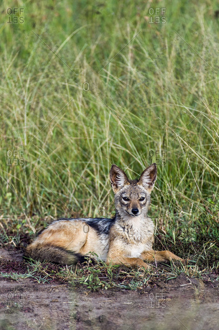 A Black-backed Jackal resting in a clearing amongst the tall grasses of the savannah plain