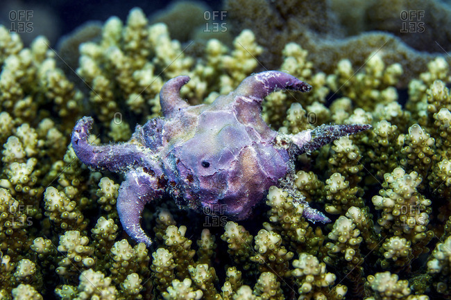 A rotting purple Sea Star echinoderm laying dead upon a colony of hard coral