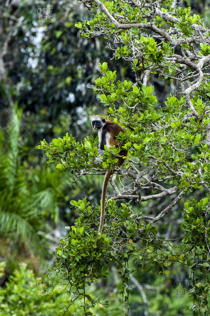 An endangered Zanzibar Red Colobus resting in the canopy of a Coral Rag Forest