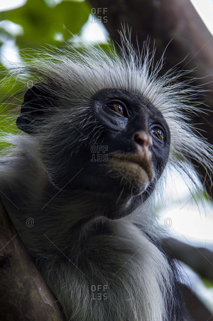 The spiky hair of a Zanzibar Red Colobus staring into the canopy of a Coral Rag Forest