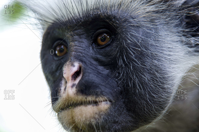The leathery facial skin and intelligent eyes of a Zanzibar Red Colobus