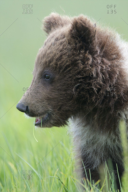 A grizzly bear gives off a confused look