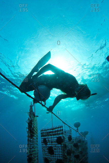 A worker ties on a buoy to help float oysters on a Tahitian pearl farm.