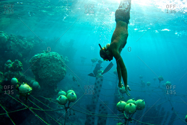 Pearl farm workers dive to retrieve Tahitian pearl oysters that have been cleaned by the lagoon's natural fish populations.