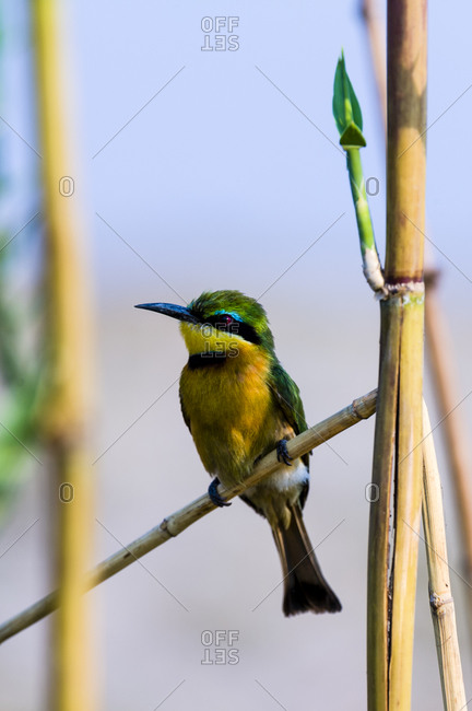 A colorful Little Bee-eater roosting on a reed stem in a wetland