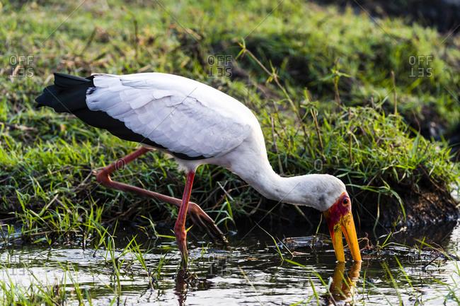 A Yellow-billed Stork hunts with its bill for aquatic wetland prey