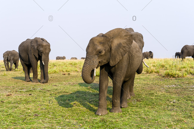 An African Elephant grazing on dry grass on a dry season floodplain