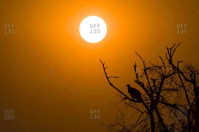 A White-backed Vulture silhouette roosting in a dead tree at sunset