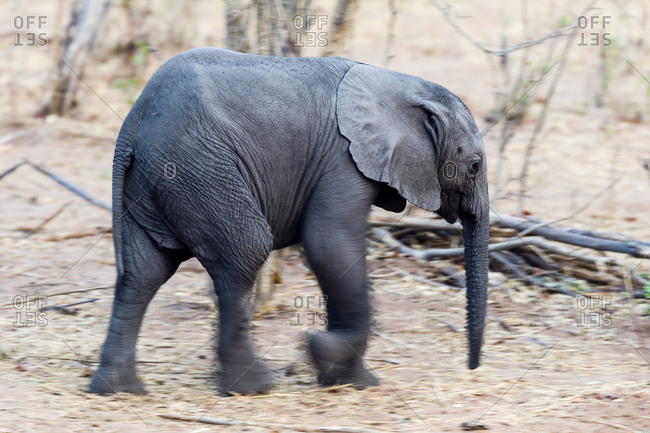 An African Elephant calf running through the dusty dry season veld
