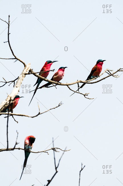 A flock of Southern Carmine Bee-eaters with bright red breast plumage