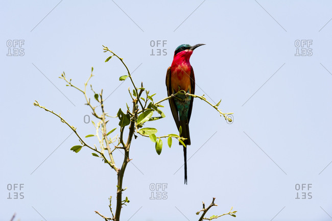 The bright red carmine breast plumage of a Southern Carmine Bee-eater