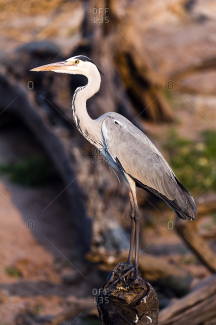 An elegant long-necked Grey Heron roosting by a wetland at sunset