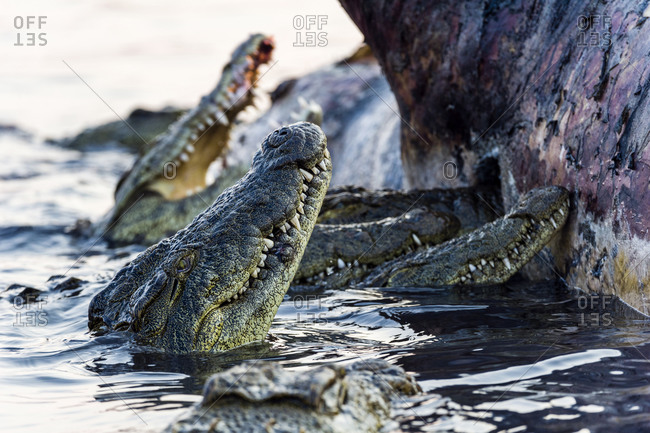 Nile Crocodiles feast on the decaying corpse of a Nile Hippopotamus