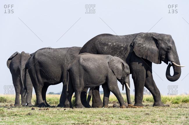 An African Elephant herd graze on grass on a dry season floodplain