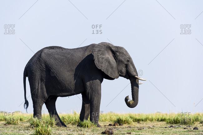 An African Elephant grazing on grass on a dry season floodplain