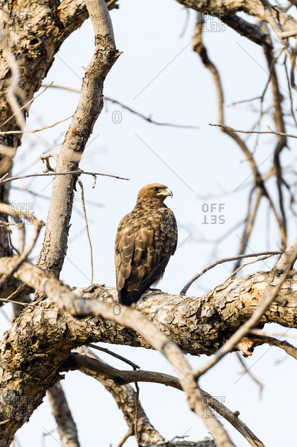 A Wahlberg\'s Eagle roosting in tree at the height of the dry season