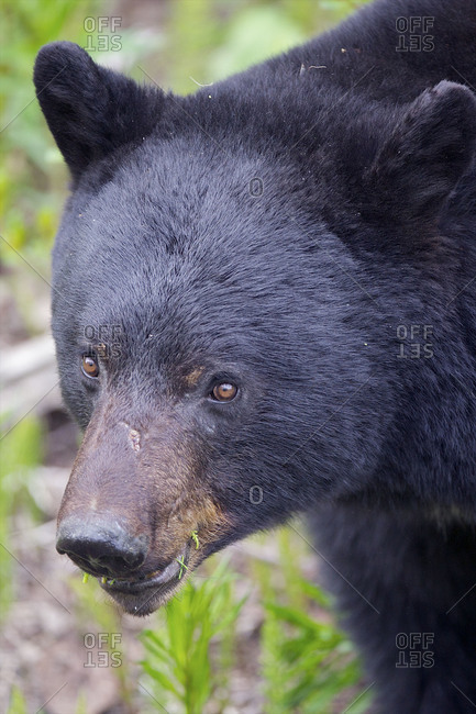 The face of a black bear looking for food
