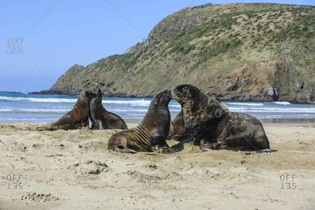 Hooker's sea lions (Phocarctos hookeri) colony, Cannibal Bay, the Catlins, South Island, New Zealand, Pacific