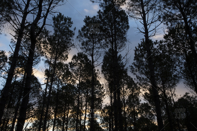 Low angle view of a tree farm, North Carolina