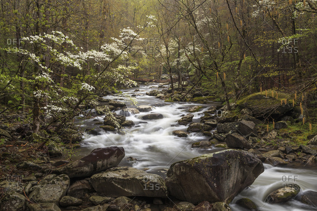 Dogwood trees and stream, Great Smoky Mountains, Tennessee, North Carolina