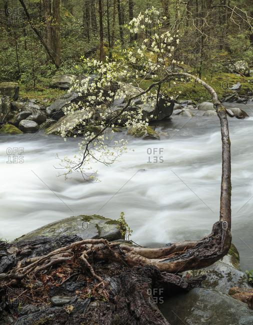 Dogwood trees and stream, Great Smoky Mountains, Tennessee, North Carolina
