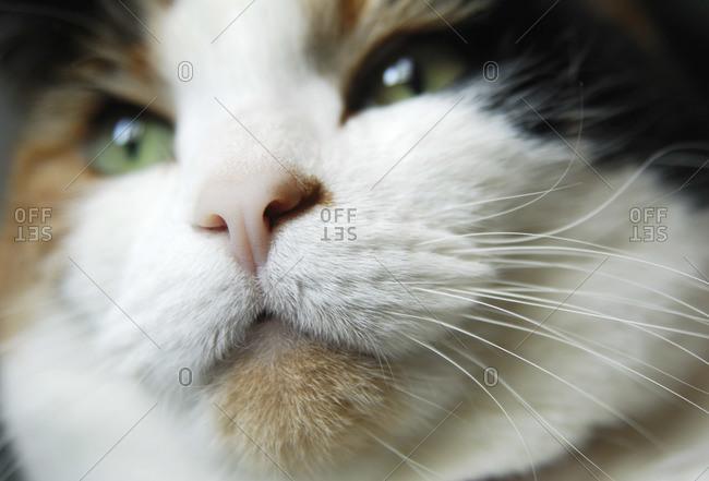 Close-up of calico cat