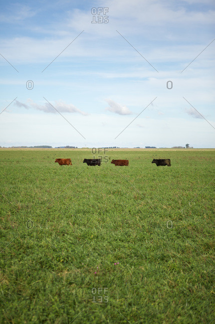 Four cattle in an open field