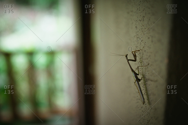 Praying mantis hangs on a wall in Costa Rica