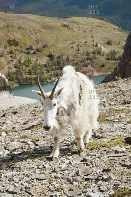 Mountain Goat standing on top of a hill, Cathedral Provincial Park, British Columbia, Canada