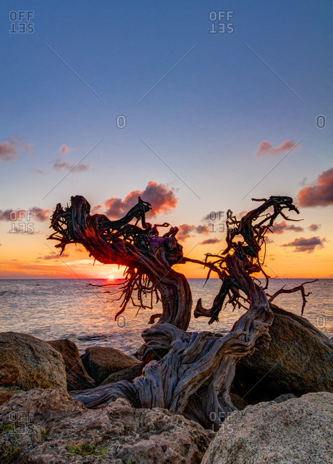 Gnarled dead tree at sunset in Aruba, Netherlands Antilles