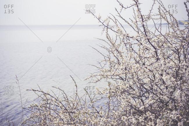 Blooming bush at Baltic Sea