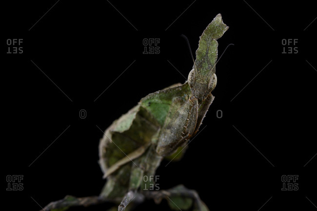 Ghost Mantis, Phyllocrania paradoxa, in front of black background