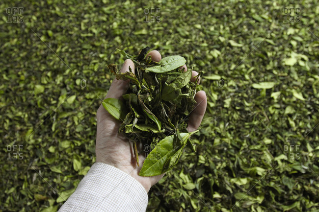 Cropped image of hand holding tea leaves kept for drying