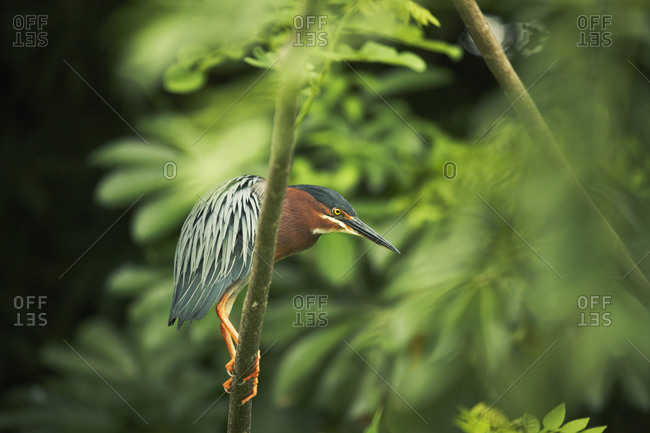 Green Heron perching on tree branch