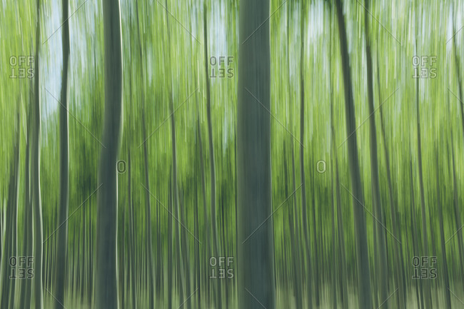 Abstraction of poplar tree of large commercial tree farm