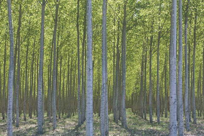 Field of poplar trees on commercial tree farm