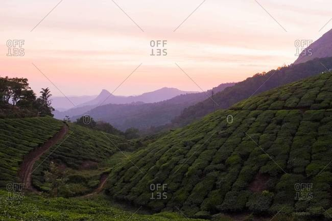 The sun sets over tea fields in the hill station of Munnar, India