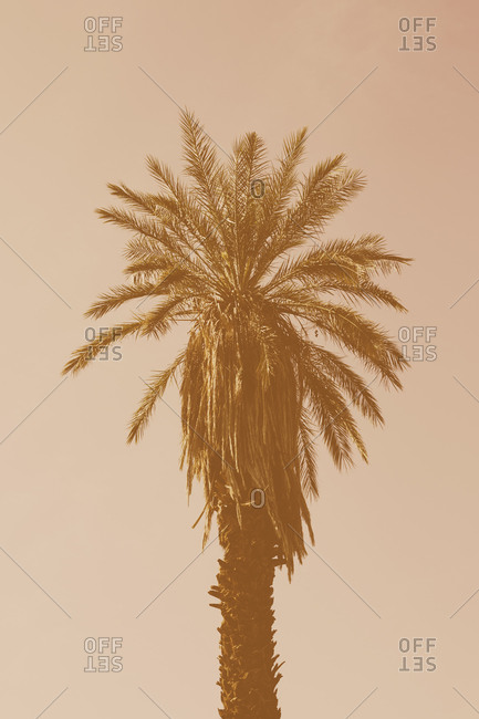 A date palm tree in low sunlight, against a pink sky