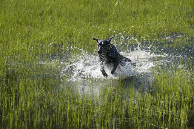 A black Labrador dog bounding through shallow water