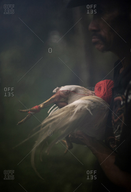 Bangli, Bali, Indonesia - March 4, 2009: Man holding a rooster with fighting blade on its leg in the town of Bangli, Bali